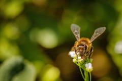 Abeja en una flor blanca que recoge el polen y que recolecta el néctar a Fotos de archivo libres de regalías