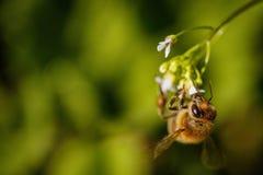 Abeja en una flor blanca que recoge el polen y que recolecta el néctar a Foto de archivo