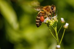 Abeja en una flor blanca que recoge el polen y que recolecta el néctar a Fotografía de archivo