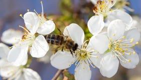 Abeja en una flor blanca en un árbol Fotos de archivo libres de regalías