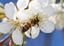 Abeja en una flor blanca en un árbol Imágenes de archivo libres de regalías