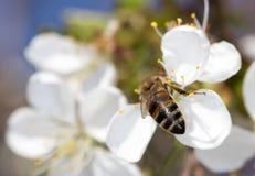 Abeja en una flor blanca en un árbol Fotos de archivo