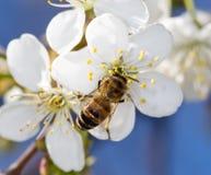 Abeja en una flor blanca en un árbol Fotografía de archivo