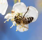 Abeja en una flor blanca en un árbol Imagen de archivo