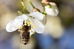 Abeja en una flor blanca en un árbol Fotografía de archivo libre de regalías