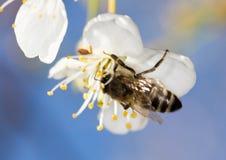 Abeja en una flor blanca en un árbol Imagen de archivo libre de regalías