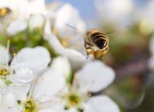 Abeja en una flor blanca en un árbol cierre Foto de archivo libre de regalías