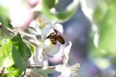 Abeja en una flor blanca en un árbol Polen de la cosecha de la abeja de la manzana f Fotografía de archivo