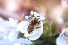 Abeja en una flor blanca en un árbol Polen de la cosecha de la abeja de la manzana f Fotos de archivo