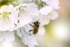 Abeja en una flor blanca en un árbol Polen de la cosecha de la abeja de la manzana f Imagenes de archivo