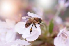 Abeja en una flor blanca en un árbol Polen de la cosecha de la abeja de la manzana f Imagen de archivo libre de regalías