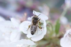 Abeja en una flor blanca en un árbol Polen de la cosecha de la abeja de la manzana f Fotografía de archivo libre de regalías