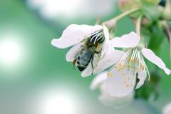 Abeja en una flor blanca en un árbol Polen de la cosecha de la abeja de la manzana f Foto de archivo libre de regalías