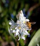 Abeja en una flor blanca y azul Fotografía de archivo libre de regalías