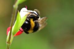 Abeja en una flor caliente del salvia de los labios Foto de archivo