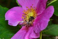 Abeja en una flor carmesí Foto de archivo libre de regalías
