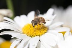 Abeja en una flor cierre Foto de archivo