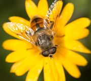 Abeja en una flor cierre Fotografía de archivo libre de regalías