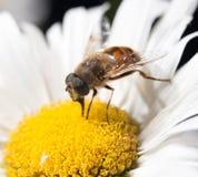 Abeja en una flor cierre Imagen de archivo