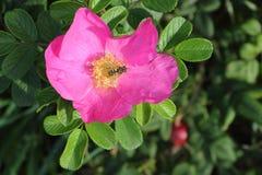 Abeja en una flor color de rosa del perro Fotos de archivo libres de regalías