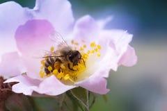 Abeja en una flor Abeja en una flor de una flor blanca Imagen de archivo libre de regalías