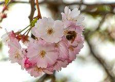 Abeja en una flor de cerezo Foto de archivo libre de regalías