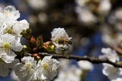 Abeja en una flor de cerezo Fotografía de archivo libre de regalías