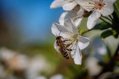 Abeja en una flor de cerezo blanca que recoge el polen y que recolecta el ne Fotos de archivo