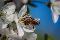 Abeja en una flor de cerezo blanca que recoge el polen y que recolecta el ne Imagen de archivo libre de regalías