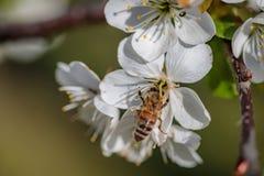 Abeja en una flor de cerezo blanca que recoge el polen y que recolecta el ne Imagen de archivo