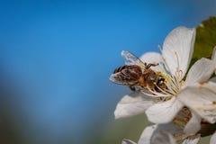 Abeja en una flor de cerezo blanca que recoge el polen y que recolecta el ne Fotos de archivo libres de regalías