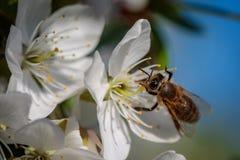 Abeja en una flor de cerezo blanca que recoge el polen y que recolecta el ne Imágenes de archivo libres de regalías