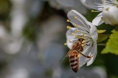 Abeja en una flor de cerezo blanca que recoge el polen y que recolecta el ne Fotografía de archivo