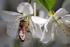 Abeja en una flor de cerezo blanca que recoge el polen y que recolecta el ne Foto de archivo
