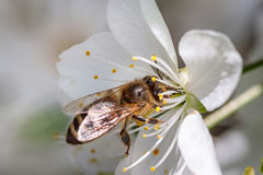 Abeja en una flor de cerezo blanca que recoge el polen y que recolecta el ne Foto de archivo libre de regalías