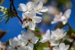 Abeja en una flor de cerezo blanca que recoge el polen y que recolecta el ne Imagenes de archivo