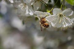 Abeja en una flor de cerezo blanca que recoge el polen y que recolecta el ne Fotografía de archivo libre de regalías