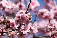 Abeja en una flor de cerezo floreciente Foto de archivo libre de regalías