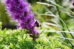 Abeja en una flor de color de malva Foto de archivo