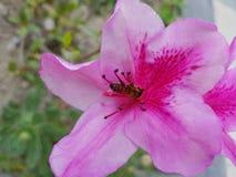abeja en una flor de la azalea rosada Foto de archivo libre de regalías
