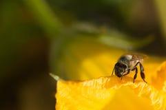 Abeja en una flor de la calabaza Imagen de archivo