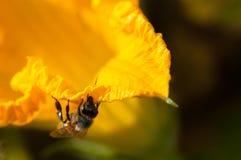 Abeja en una flor de la calabaza Fotos de archivo libres de regalías