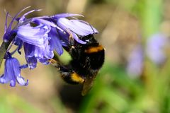 Abeja en una flor de la campanilla Foto de archivo libre de regalías