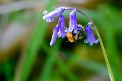 Abeja en una flor de la campanilla en primavera Foto de archivo libre de regalías
