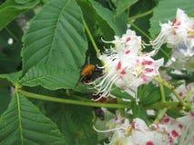 Abeja en una flor de la castaña Foto de archivo libre de regalías