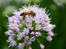 Abeja en una flor de la cebolla Imagen de archivo libre de regalías