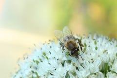 Abeja en una flor de la cebolla Imagen de archivo