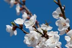Abeja en una flor de la cereza Foto de archivo