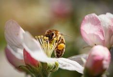 Abeja en una flor de la cereza blanca Imágenes de archivo libres de regalías