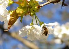 Abeja en una flor de la cereza dulce Imagen de archivo libre de regalías
